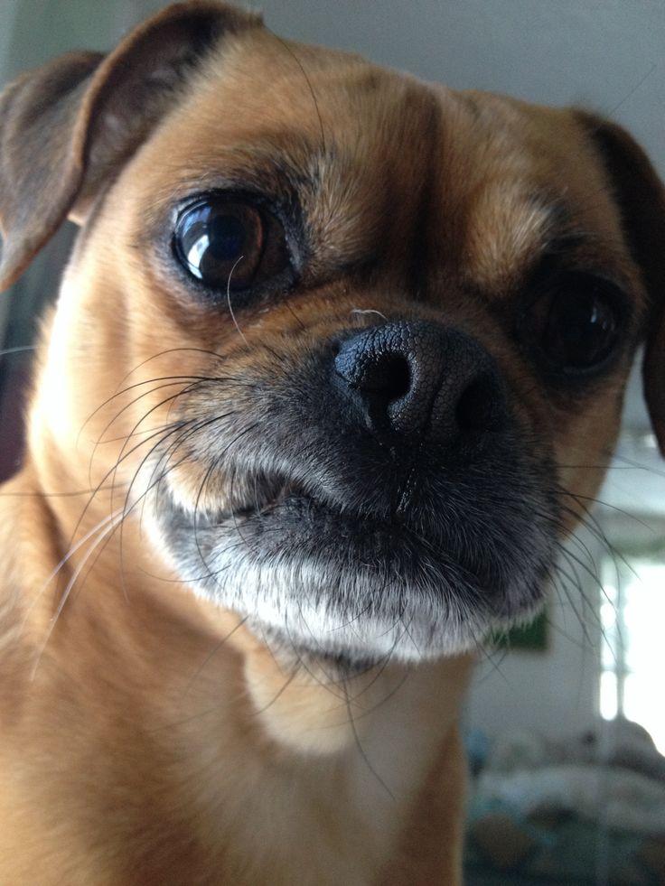 Brussels Griffon/ Pug. What a Face   PUG MIX BREEDS ... Brussels Griffon And Pug Mix