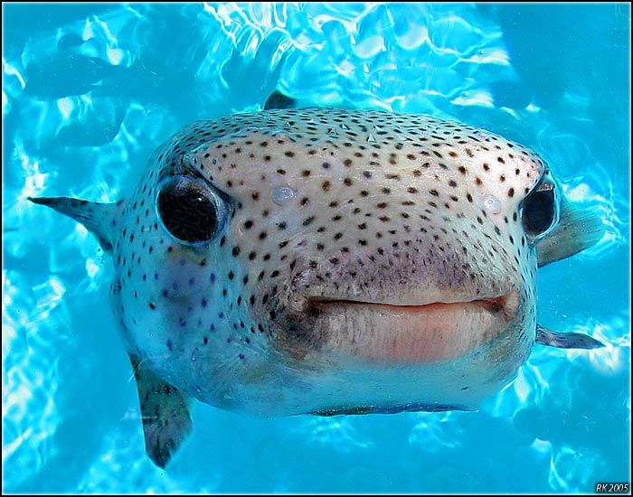 Puffer fish animals pinterest for What is a puffer fish