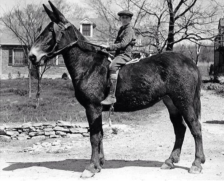 Horse N Donkey Breeding 18.0 Hand Mule. I Love...