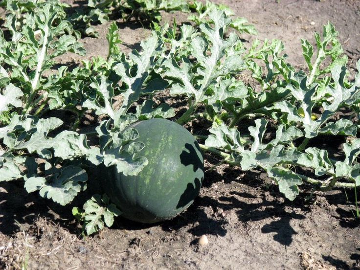 Sugar baby an icebox variety of watermelon good for smaller gardens