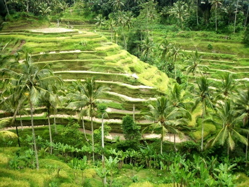 Paddy terraces in Tegallalang #Indonesia