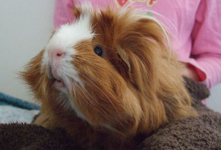 beautiful guinea pig guinea pig pinterest