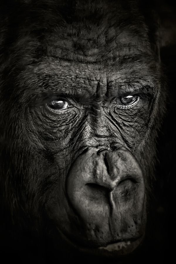 Gorilla by Gerardo Soria