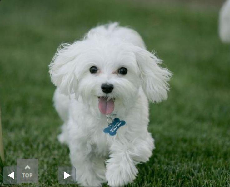 Happy cute toy poodle.   Toy poodles   Pinterest