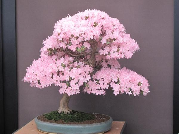 Sakura Bonsai Gallery
