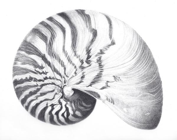 Line Art Nautilus : Nautilus drawing perfect things pinterest