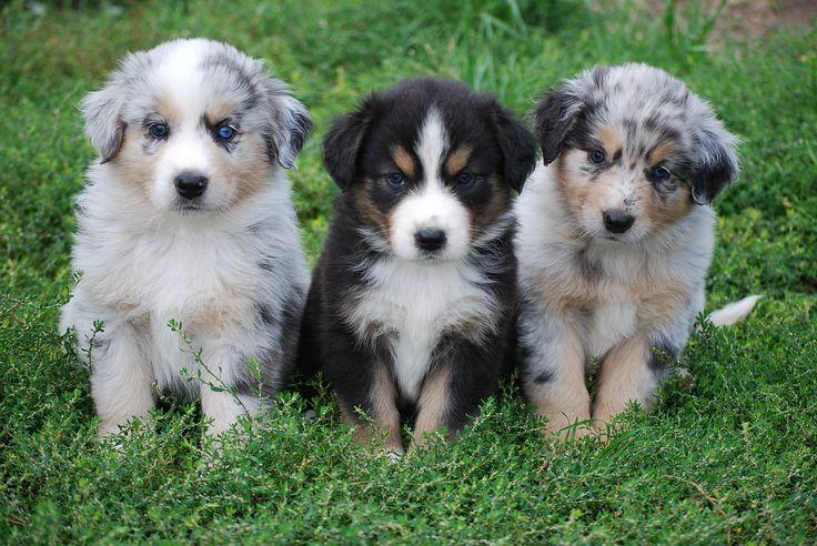Australian Shepherd puppies | Favorite Dogs | Pinterest