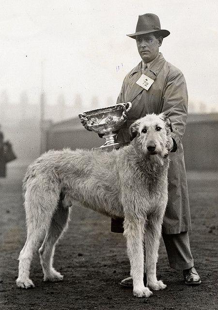 L'Irish Wolfhound 981e94f21f3b9b950b593b9b4d412251