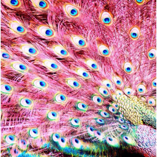 featherspeacock feathers peacock colors - photo #20