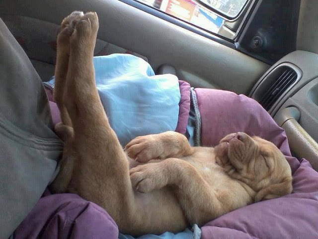 Dog sleeping like a boss picture