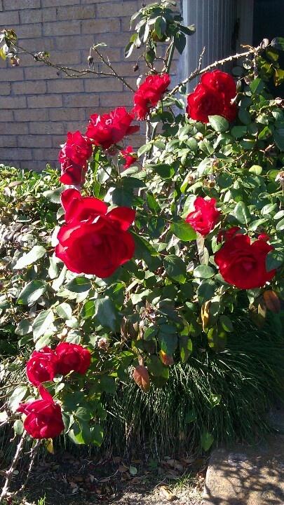 red rose bush Roses r red my love Pinterest