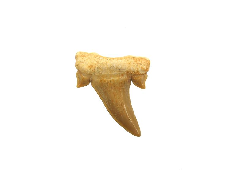 Shark_Tooth_Macro_1.JPG (2272×1704)
