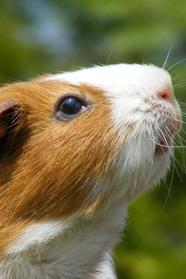 guinea pig iphone wallpaper animals pinterest