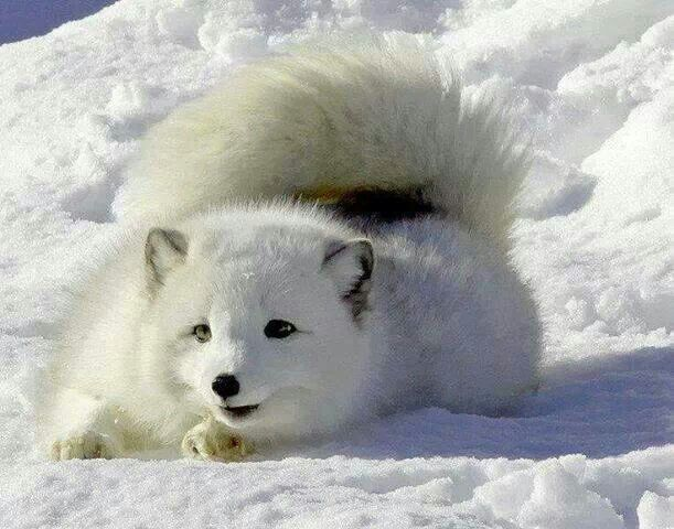 arctic fox cute white - photo #7