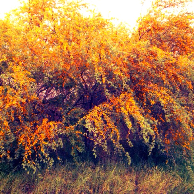 Orange Blossom Tree   Orange Blossom Tree