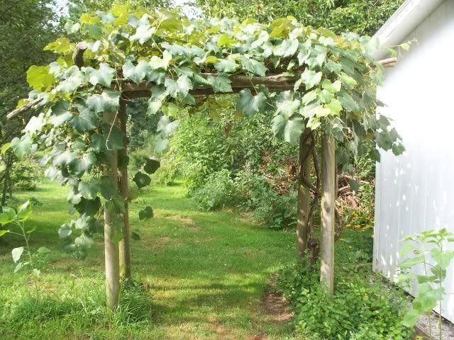 Backyard Vineyard Design : grape arbor design idea around the yard pinterest grape arbor kit