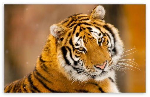 my favourite wild animal tiger essay