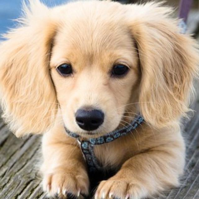 Golden Retriever Dachshund | Dog Breeds Picture