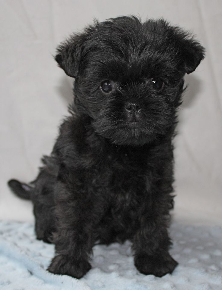 Affenpinscher Puppy. Looks like my Abby when she was a puppy.