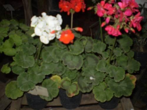 Malvones gardens and flowers pinterest - Plantas de jardin exterior ...