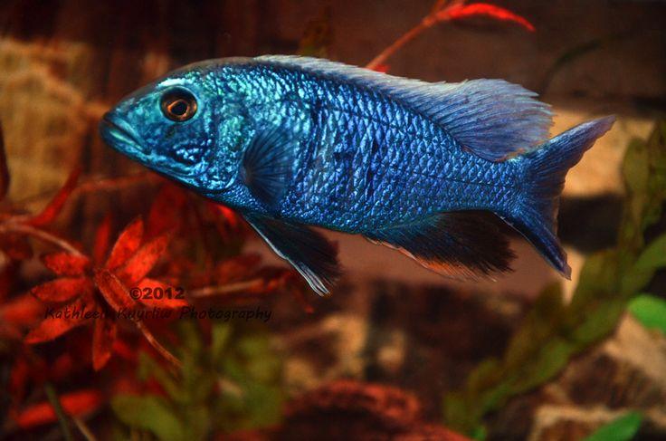 Lake Malawi African Cichlid Jacks dream fish Pinterest