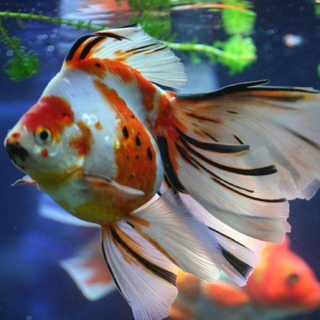 Ryukin goldfish pinterest for Pet koi fish care