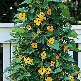 black eyed susan vine