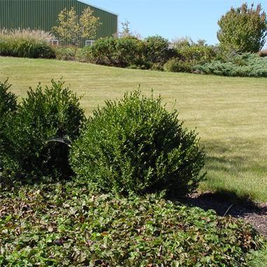 buxus wilson northern charm boxwood gardening