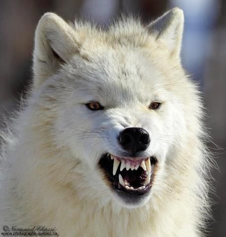 White wolf growling