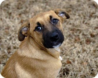 McKinney, TX - Labrador Retriever/Anatolian Shepherd Mix. Meet ...