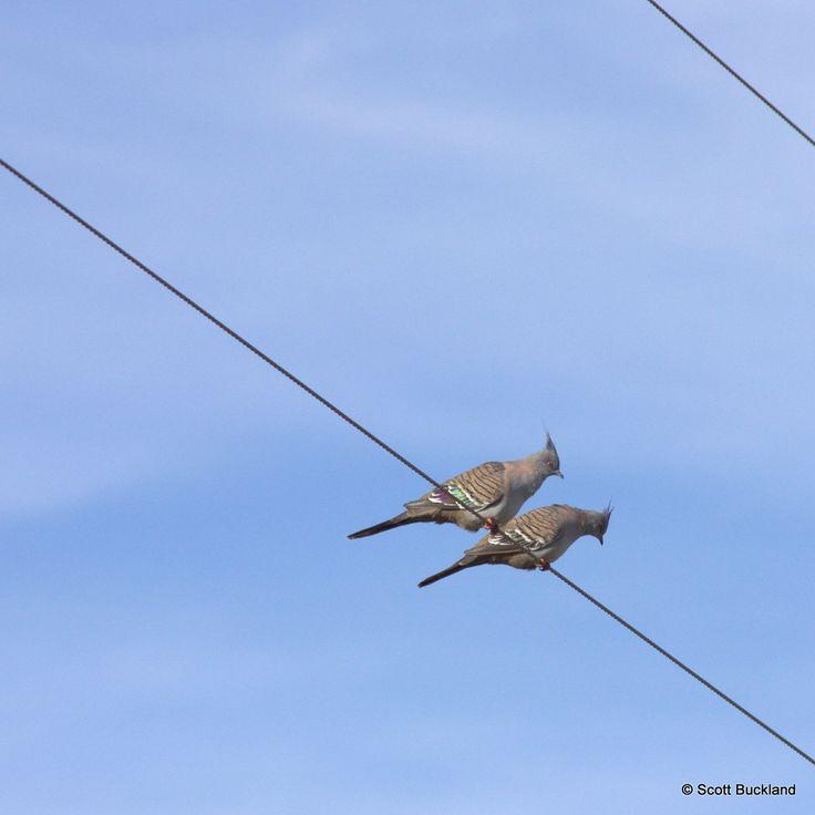 Buckland Australia  city photos : Pin by Scott Buckland on Australian Birds Lifelist | Pinterest