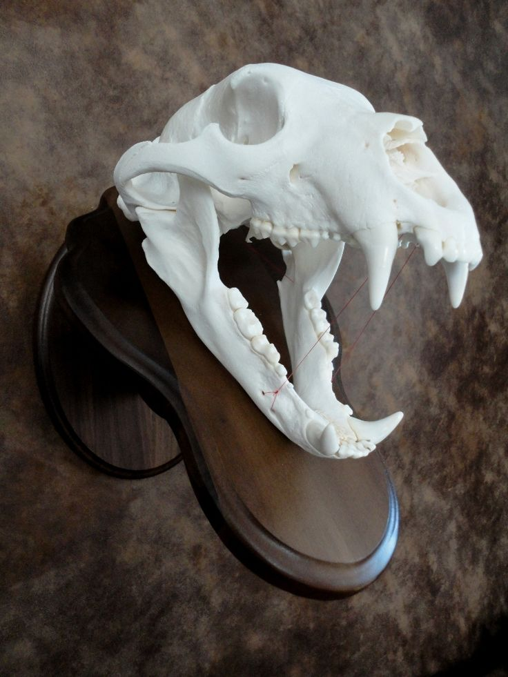 Black bear skull mount