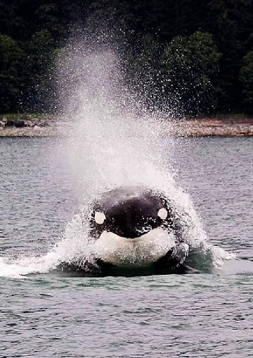 Watch orcas play in the waves. #alaska