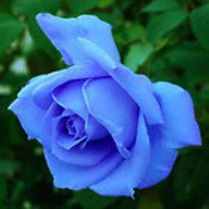 sky blue roshe  Rare Blue Roses | Free