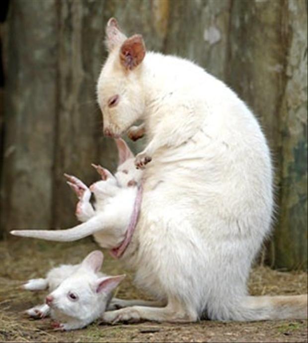 Albino wombat - photo#12
