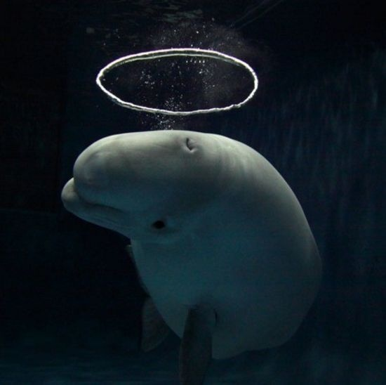 #Beluga blowing circular bubble