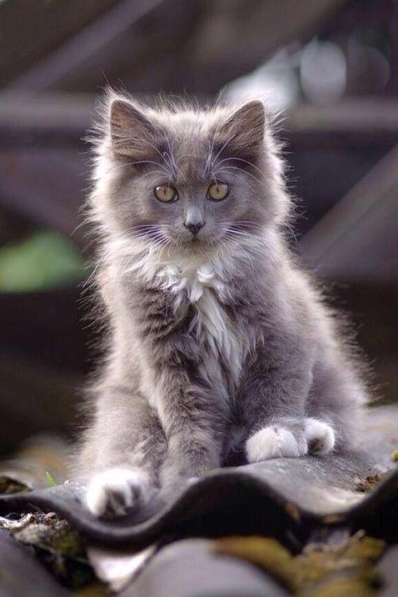 fluffy grey kitten-#9