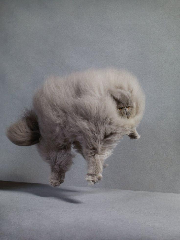 'Persian – Asbury Cat Show' Martha Stewart Living by Dan Burn-Forti