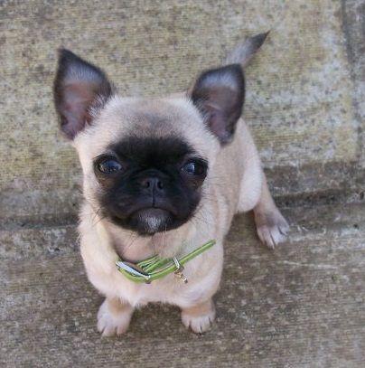 Pug Chihuahua Mix | animalgals
