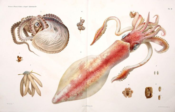 #sealife #marine #squid #octopus #cephalopods