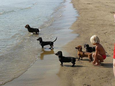 Sweet Dachshunds on the beach.