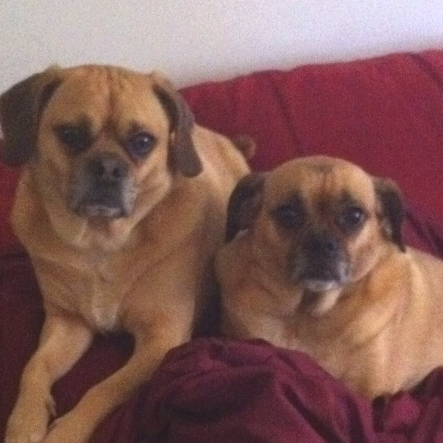 Puggles! ( Pug and Beagle Mix) | The Things I love | Pinterest