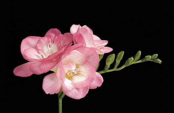 'Pink Fountain' Freesia