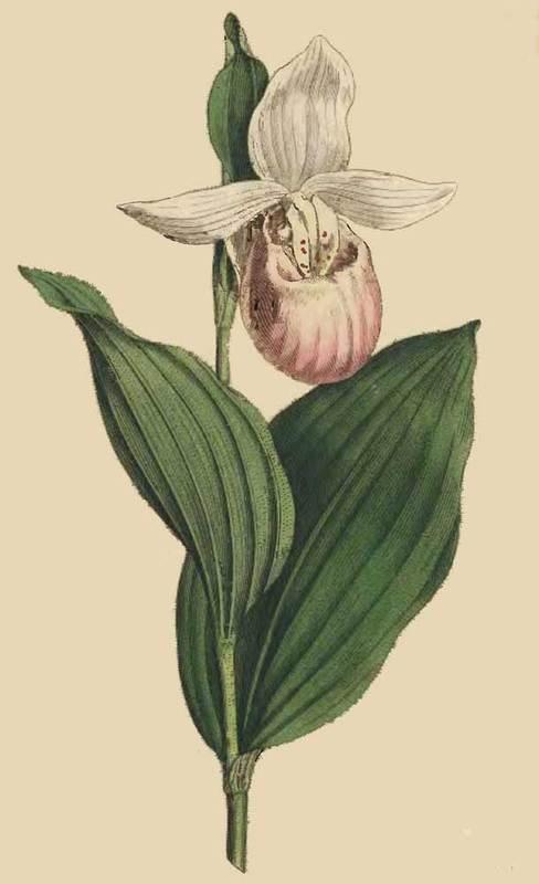 Cypripedium Album. White-Petaled Ladies Slipper