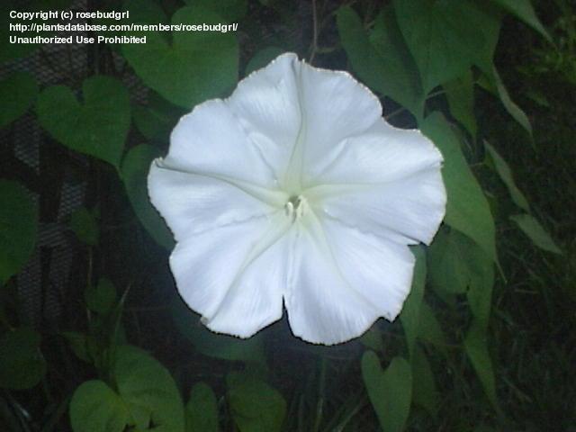 moonflower york