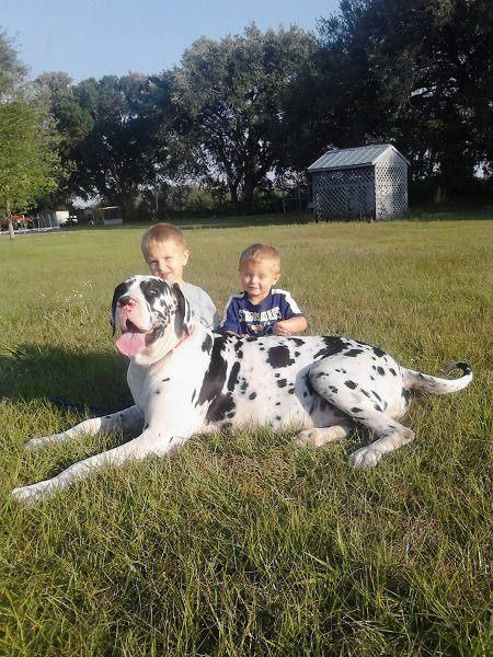 Great #Dane with #kids #dogs #children | Great Dane | Pinterest