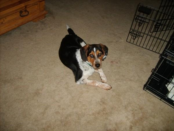Chase's twin!!! blue heeler/beagle mix | Furry Things | Pinterest