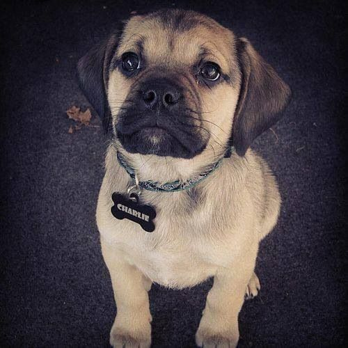 love beagles she loves pugs our perfect dog