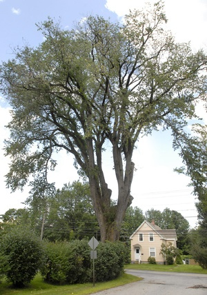 Barber Yarmouth Maine : 110-ft tall American elm tree near Yarmouth, Maine--cared for by Frank ...