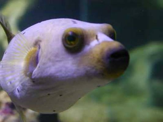 Pin by cathy booyer on salt water tank pinterest for Dog face puffer fish